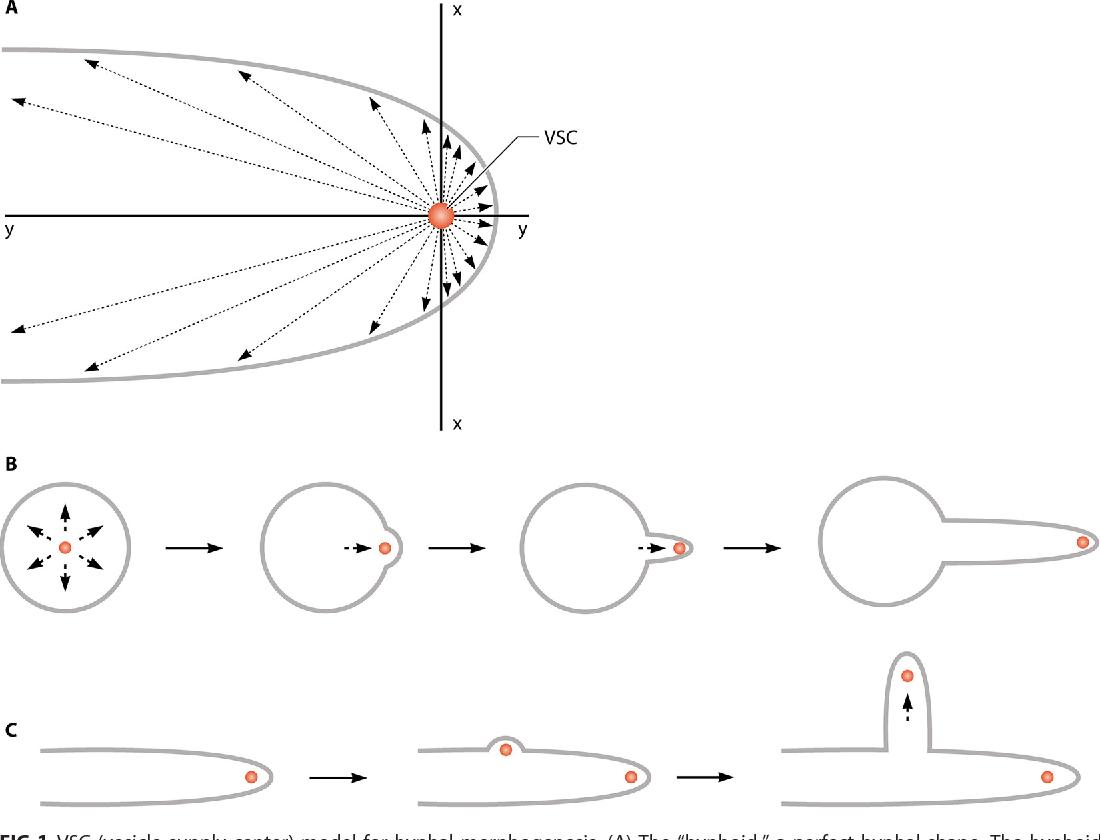 hight resolution of fig 1 vsc vesicle supply center model for hyphal morphogenesis a