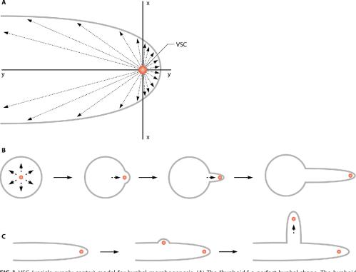 small resolution of fig 1 vsc vesicle supply center model for hyphal morphogenesis a
