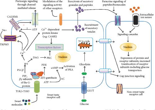 small resolution of figure 1 a general model of sweet taste signaling network sweet taste receptors possess