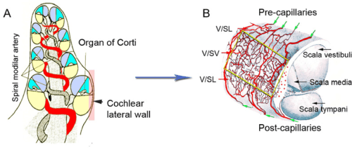 small resolution of schematic view of cobf supply a the sma a major artery