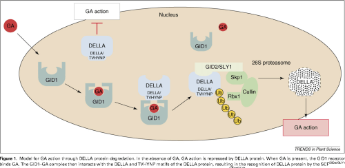 small resolution of model for ga action through della protein degradation in the absence of