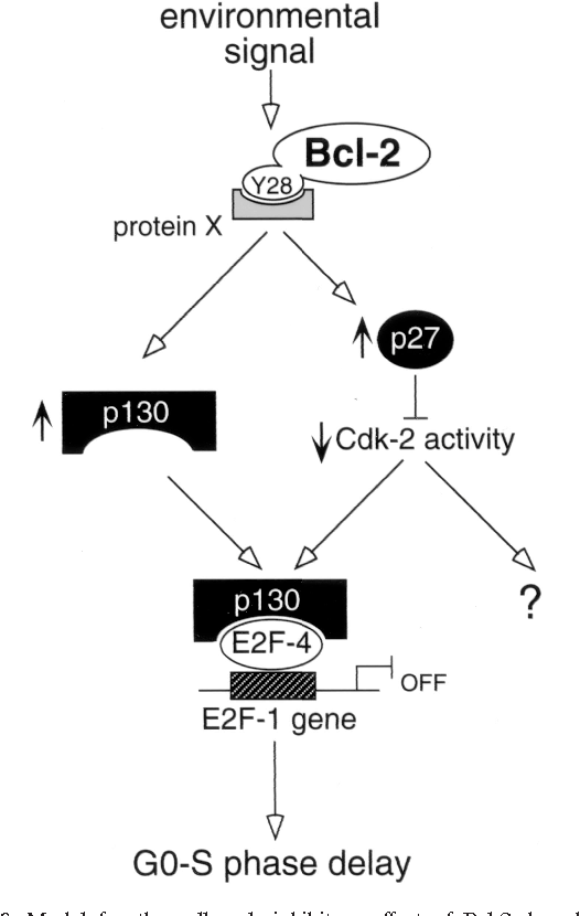 Figure 8 from Bcl-2 retards cell cycle entry through p27