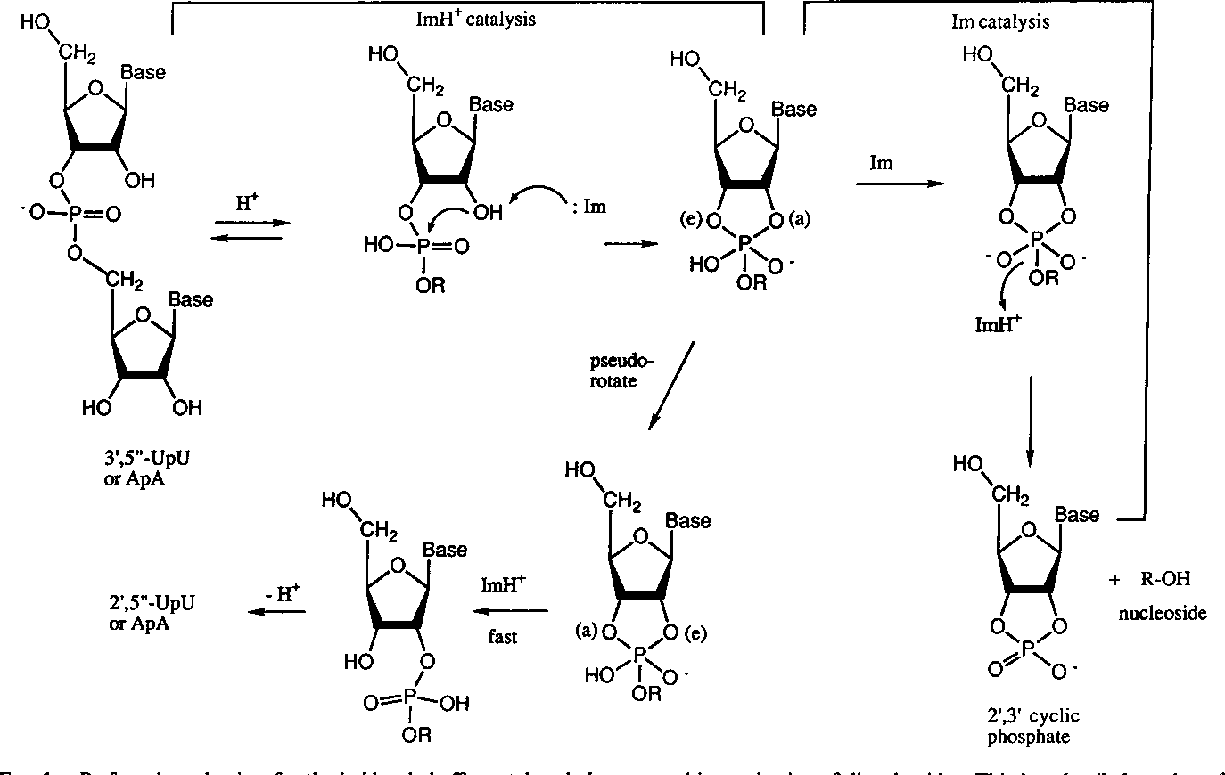 Figure 1 from Kinetics and mechanism in RNA cleavage