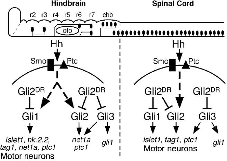 Figure 11 from Gli function is essential for motor neuron