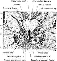 fig 34 frontal section of male pelvis at right angles to penned membrane  [ 1122 x 760 Pixel ]