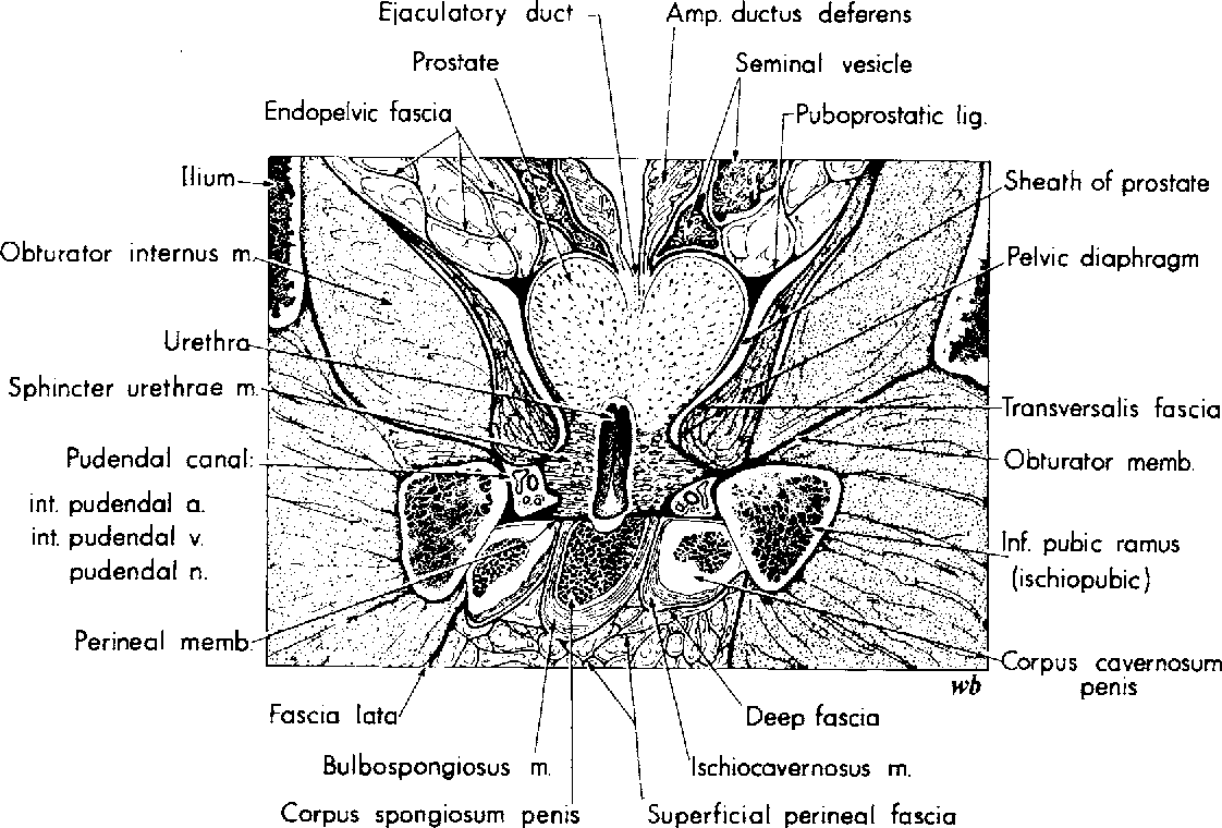hight resolution of fig 34 frontal section of male pelvis at right angles to penned membrane