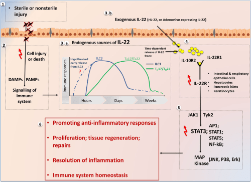 small resolution of a diagram illustrating a summary of the pathways and roles of interleukin