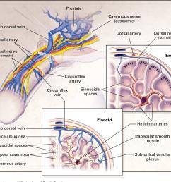 figure 1 anatomy and mechanism of penile erection the cavernous nerves autonomic  [ 1280 x 1132 Pixel ]