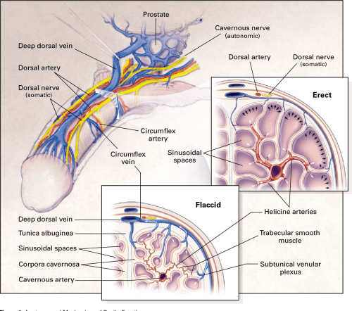 small resolution of figure 1 anatomy and mechanism of penile erection the cavernous nerves autonomic
