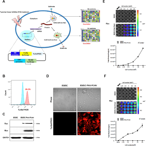small resolution of figure 1 schematic illustration of dual reporter gene system and establishment of a stable cell