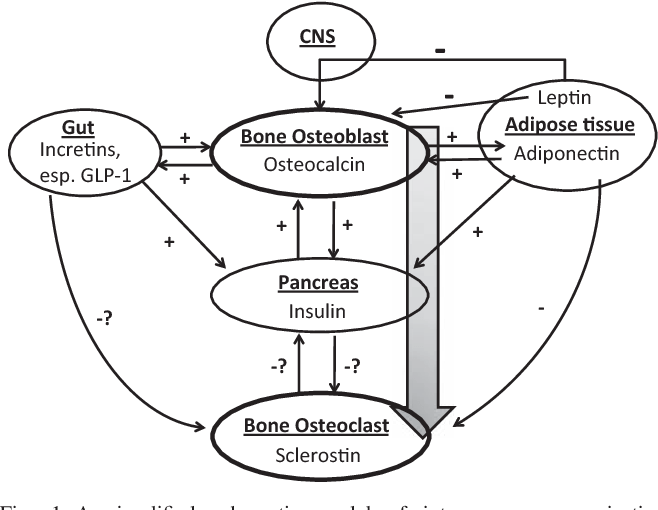 Figure 1 from An emerging role for bone in interorgan