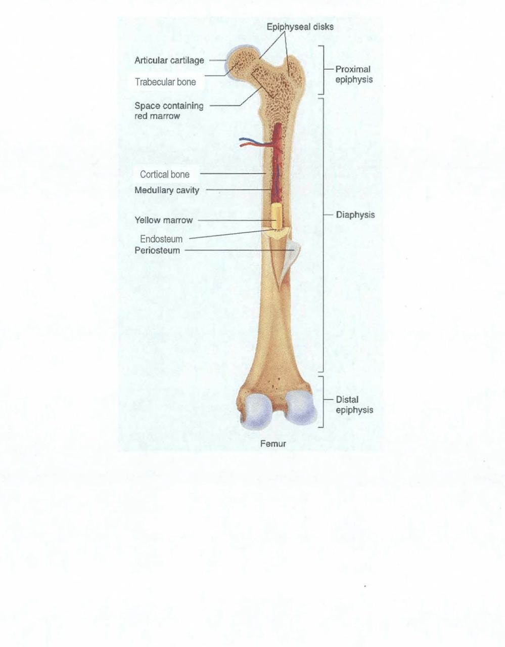 medium resolution of figure 2 1 bone architecture of a typical long bone