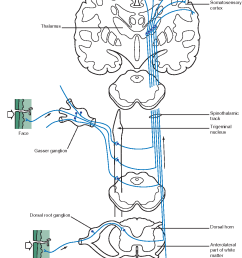 figure 1 14 the spinothalamic tract or anterolateral ascending sensory pathway this pathway integrates and conveys [ 1014 x 1270 Pixel ]