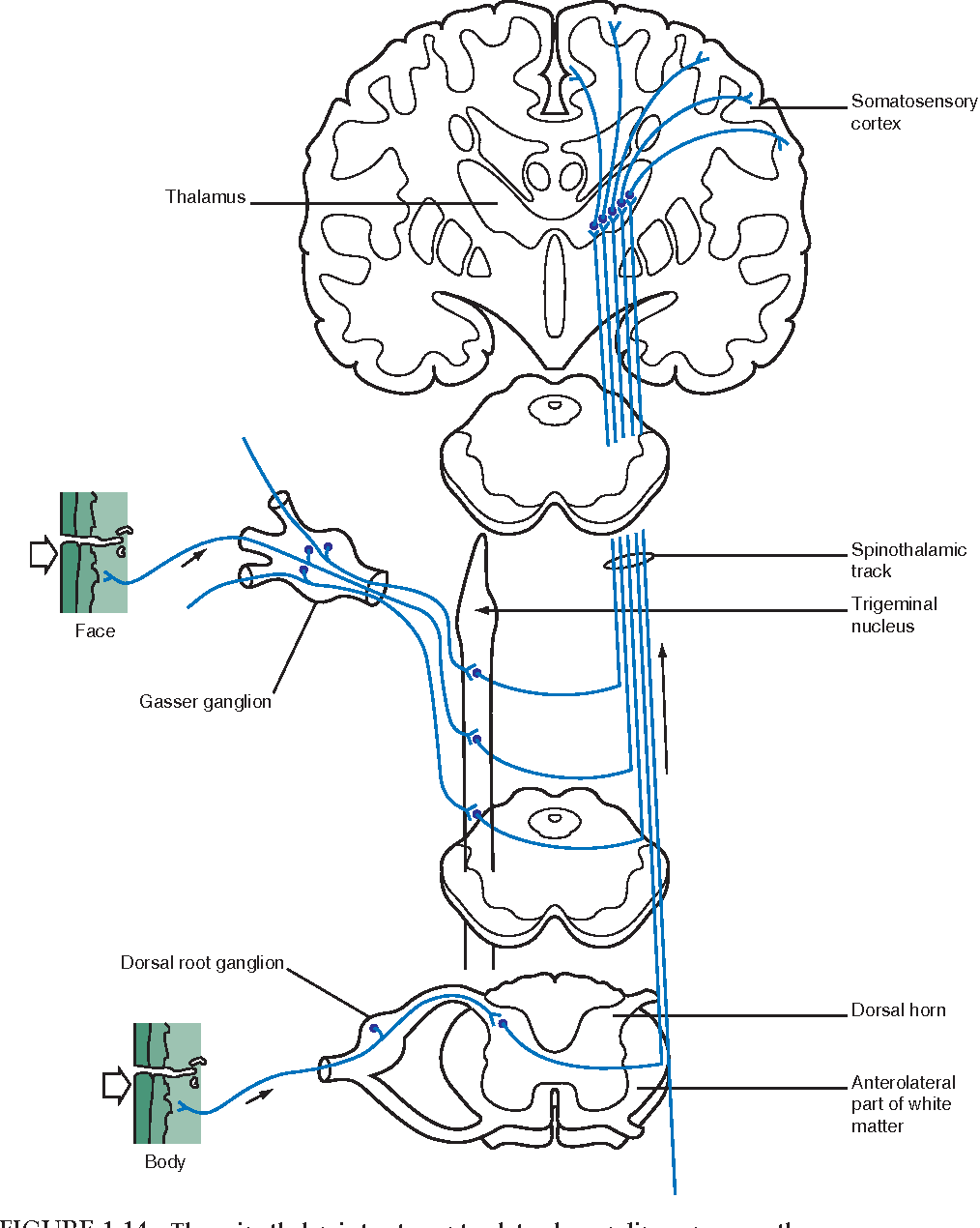 hight resolution of figure 1 14 the spinothalamic tract or anterolateral ascending sensory pathway this pathway integrates and conveys