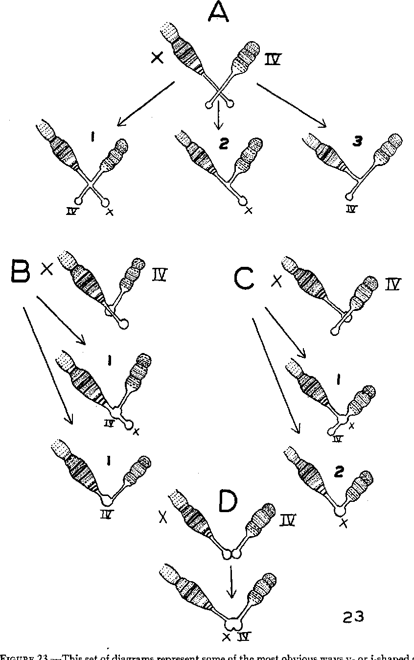 Chromosome Set Figure 23 From Chromosome Fusion And Speciation In Drosophilae