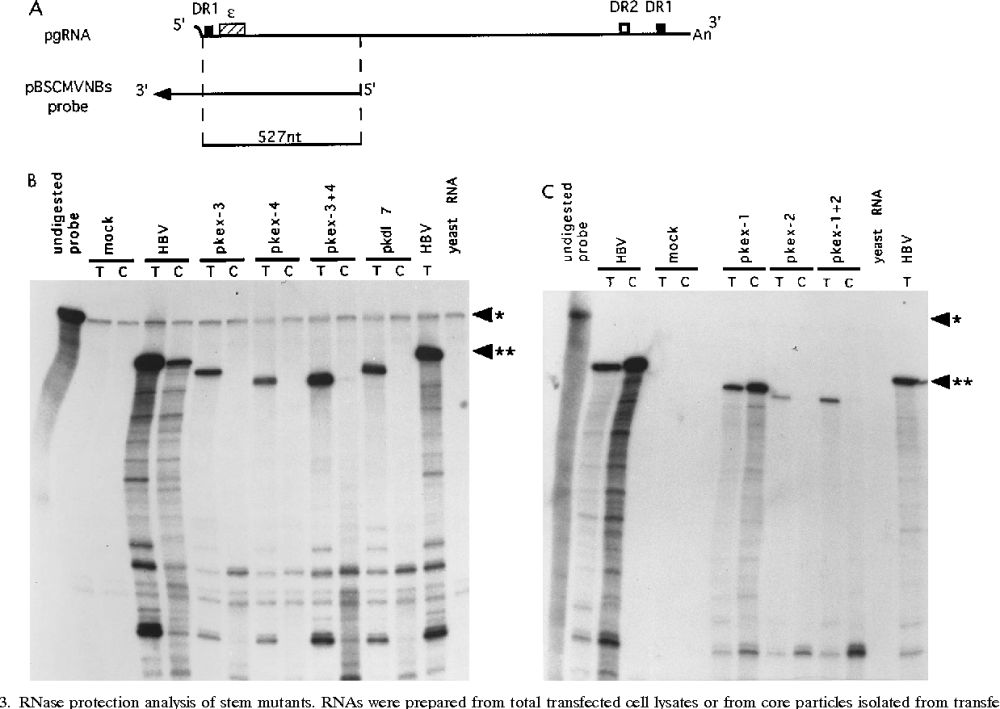 medium resolution of rnase protection analysis of stem mutants rnas were prepared from total
