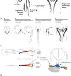 a functional features of the vertebrate nephron [ 880 x 1222 Pixel ]