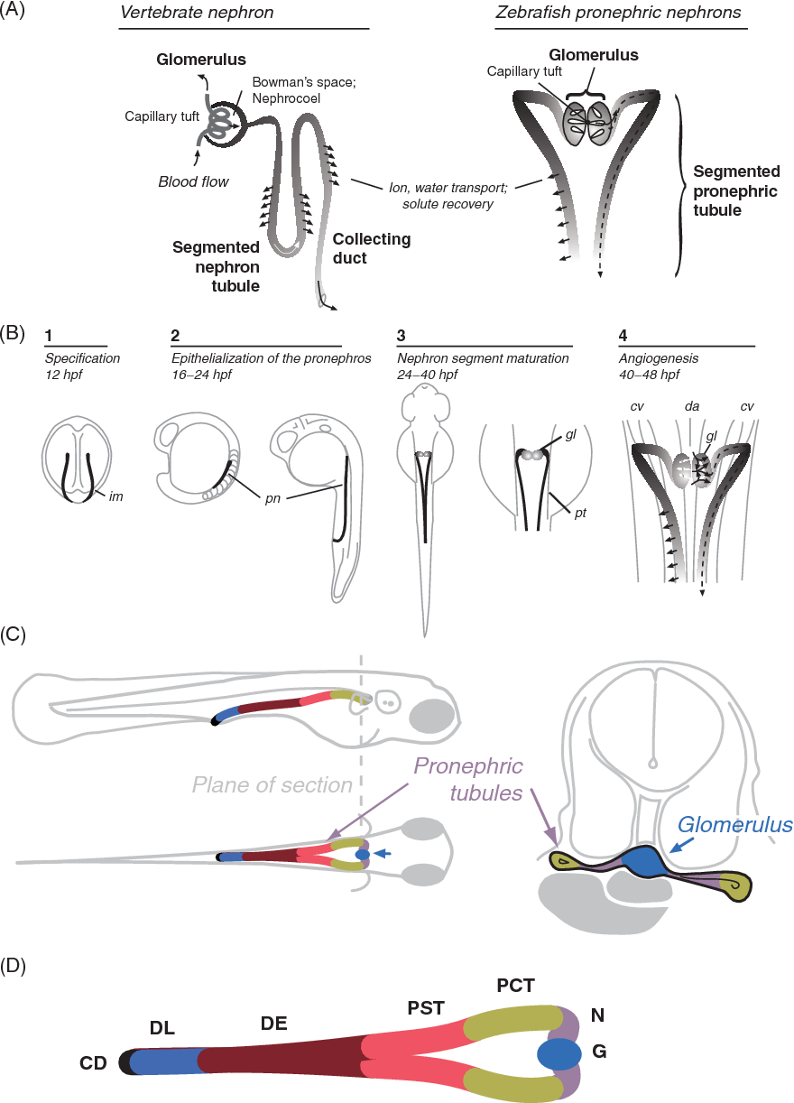 hight resolution of  a functional features of the vertebrate nephron
