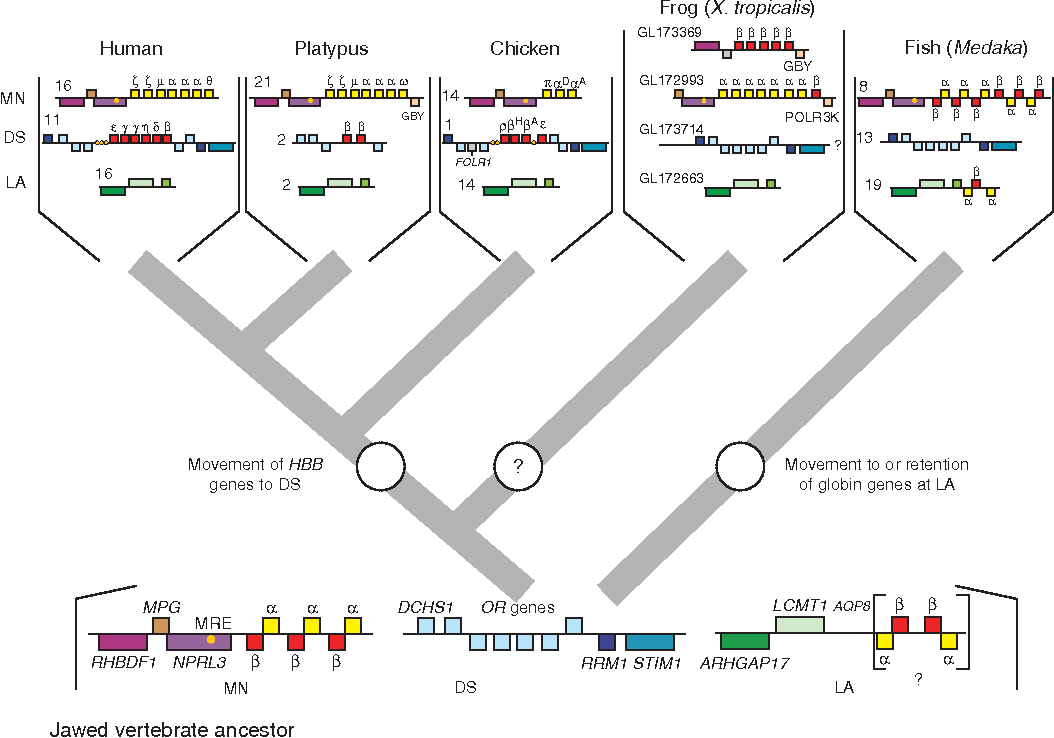 Figure 2 from Evolution of hemoglobin and its genes