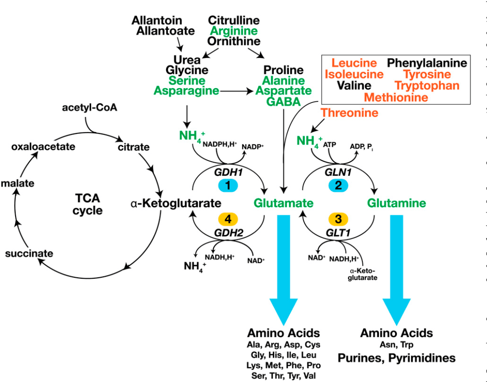 medium resolution of figure 1 schematic diagram of the main pathways of nitrogen metabolism the entry routes of