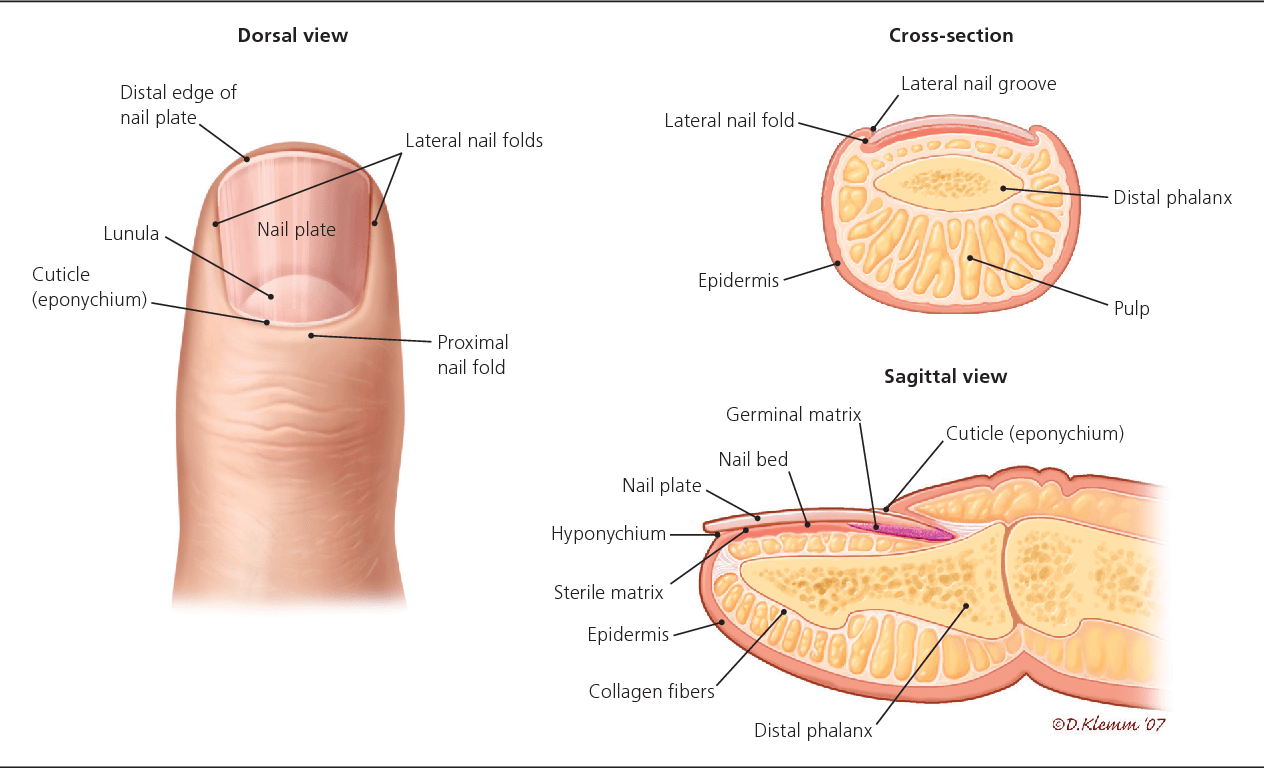 hight resolution of anatomy of the nail