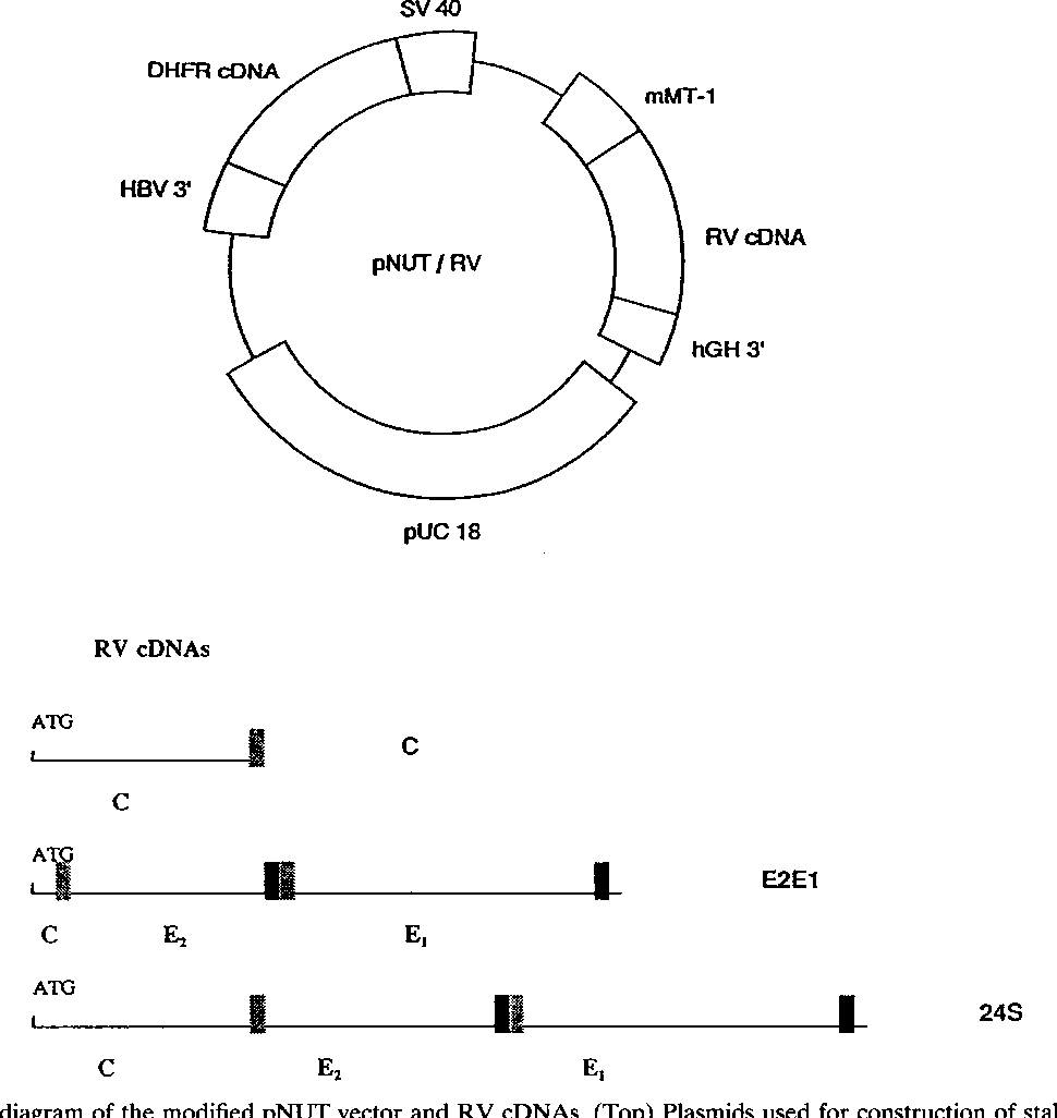 medium resolution of schematic diagram of the modified pnut vector and rv cdnas