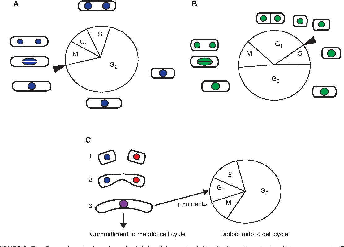 Figure 2 from Introduction to Fission Yeast as a Model