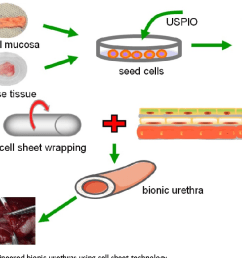 the scheme diagram of tissue engineered bionic urethras using cell sheet technology [ 1374 x 660 Pixel ]