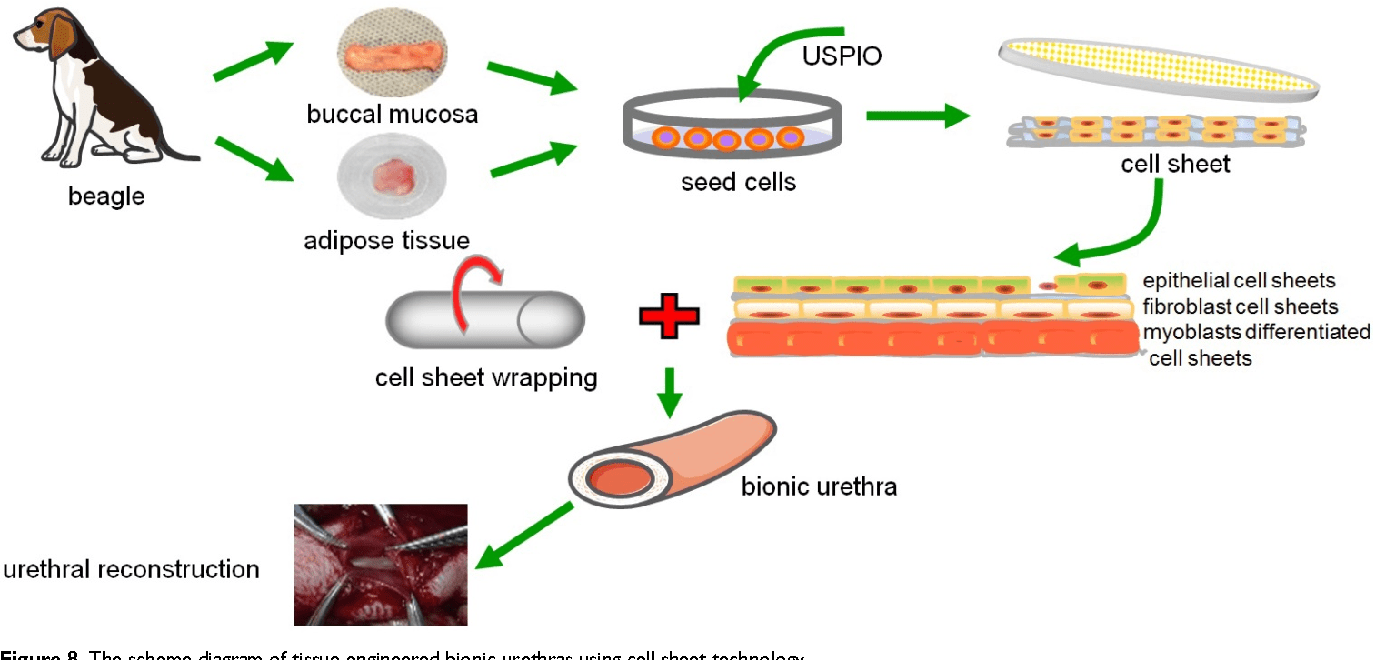 hight resolution of the scheme diagram of tissue engineered bionic urethras using cell sheet technology