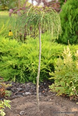 Tüvele poogitud hiigel-elupuu (Thuja plicata) 'Whipcord' (30.08.15)