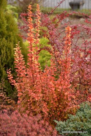 Thunbergi kukerpuu (Berberis thunbergii) 'Maria' (24.10.15)