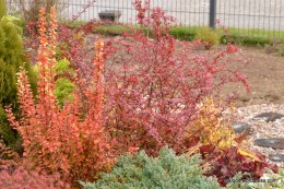 Thunbergi kukerpuud (Berberis thunbergii) 'Maria' (vasakpoolne) ja 'Pink Princess' (24.10.15)