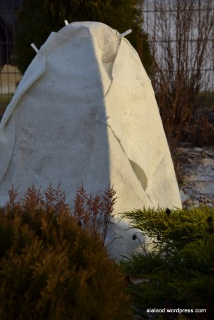 Hiigel-elupuu (Thuja plicata) talvekate (29.12.15)