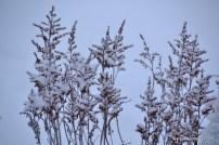 Talvised astilbed (09.01.16)