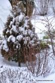 Harilik elupuu (Thuja occidentalis) 'Miky' (13.01.16)