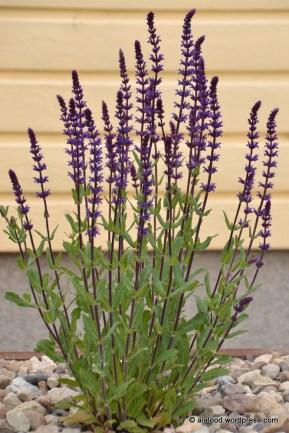 Metssalvei (Salvia nemorosa) 'Caradonna' (10.06.2016)