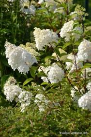 Aedhortensia (Hydrangea paniculata) 'Vanille-Fraise' (27.07.2016)
