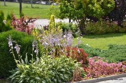 Eesaia peenranurk, kus esiplaanil õitsev lainjas hosta (Hosta undulata), mille taustaks (vasakult) harilik elupuu (Thuja occidentalis) 'Tiny Tim', Thunbergi kukerpuud (Berberis thunbergii) 'Pink Princess' ja 'Maria', kuldne-piimalill (Euphorbia polychroma) 'Bonfire', roomav kukehari (Sedum spurium) 'Coccineum' ja kirju kadakas (Juniperus squamata) 'Blue Carpet' (14.07.2016)