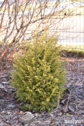 Harilik kadakas (Juniperus communis) 'Gold Cone' (15.02.2017)