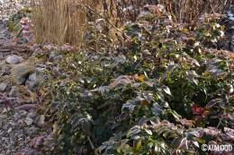 Läiklehine mahoonia (Mahonia aquifolium) (15.02.2017)