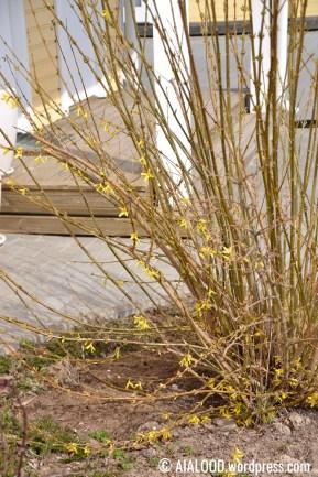 Värdforsüütia (Forsythia x intermedia) 'Spring Glory' (07.05.2017)