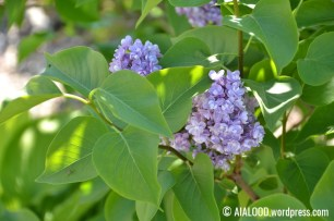 Harilik sirel (Syringa vulgaris) 'Katherine Havemeyer' (16.06.2017)