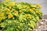 Aed-kullerkupp (Troilius X cultorum) 'Orange Princess', taustal Fortune'i hosta (Hosta fortunei) 'Albopicta' (16.06.2017)