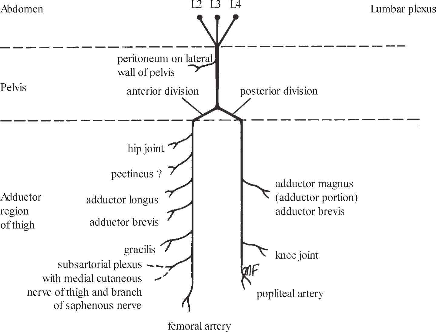 diagram of sciatic nerve pathway jayco travel trailer wiring where the diagrams for