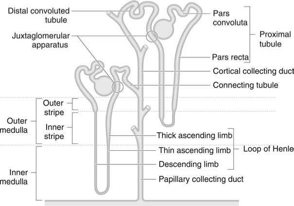 The Function of the Glomerulus