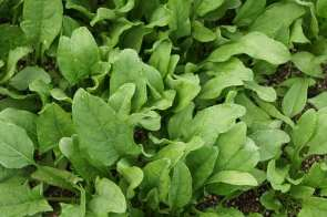 spinach-506616_640