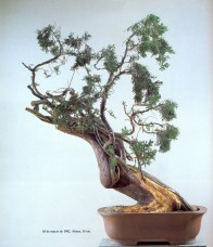 19A - Juniperus Chinesis 72cm