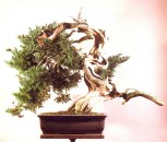 8A - Juniperus Chinesis 78cm