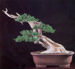 19B - Juniperus Chinesis 72cm