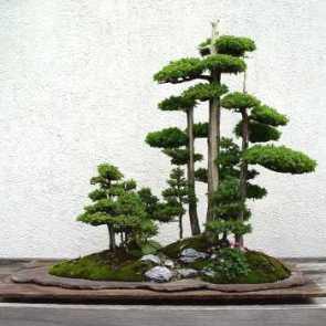 bonsai-71-1